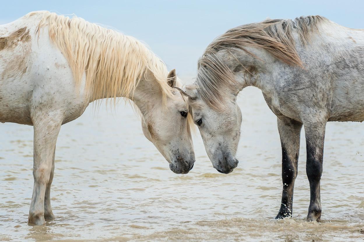 Carmague Horses Cheryl Schneider Photography